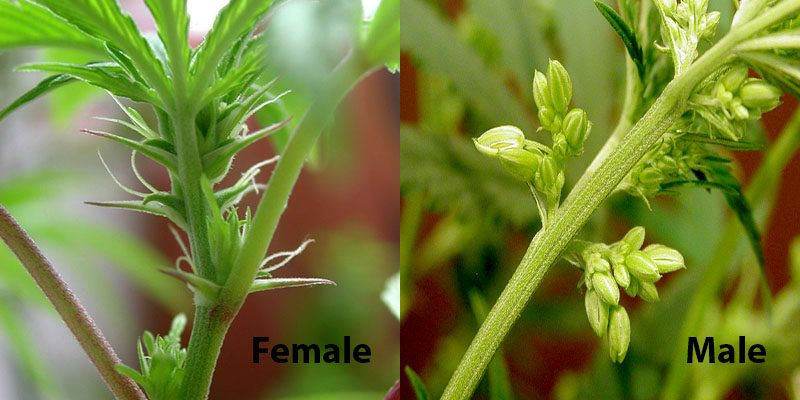 Cannabis Gender Identification And Reproduction